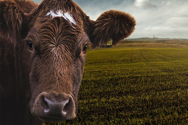 Cow and fields of grass